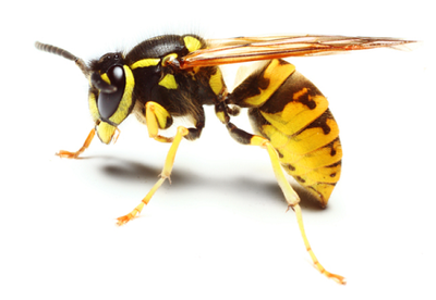 bees-and-wasps-control-north-shore