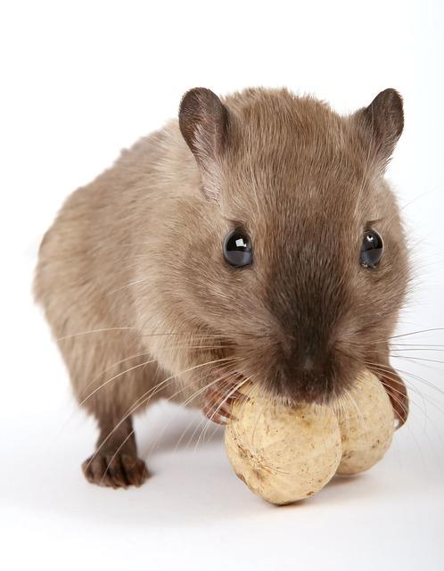 rodent control north shore